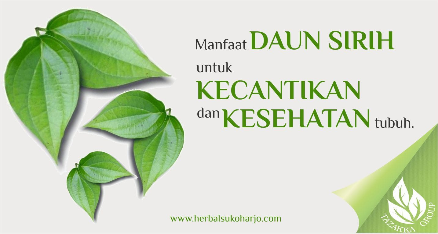foto gambar informasi artikel seputar manfaat tanaman daun sirih untuk kecantikan perawatan kulit wajah, mengobati berbagai penyakit dan memelihara kesehatan tubuh secara alami